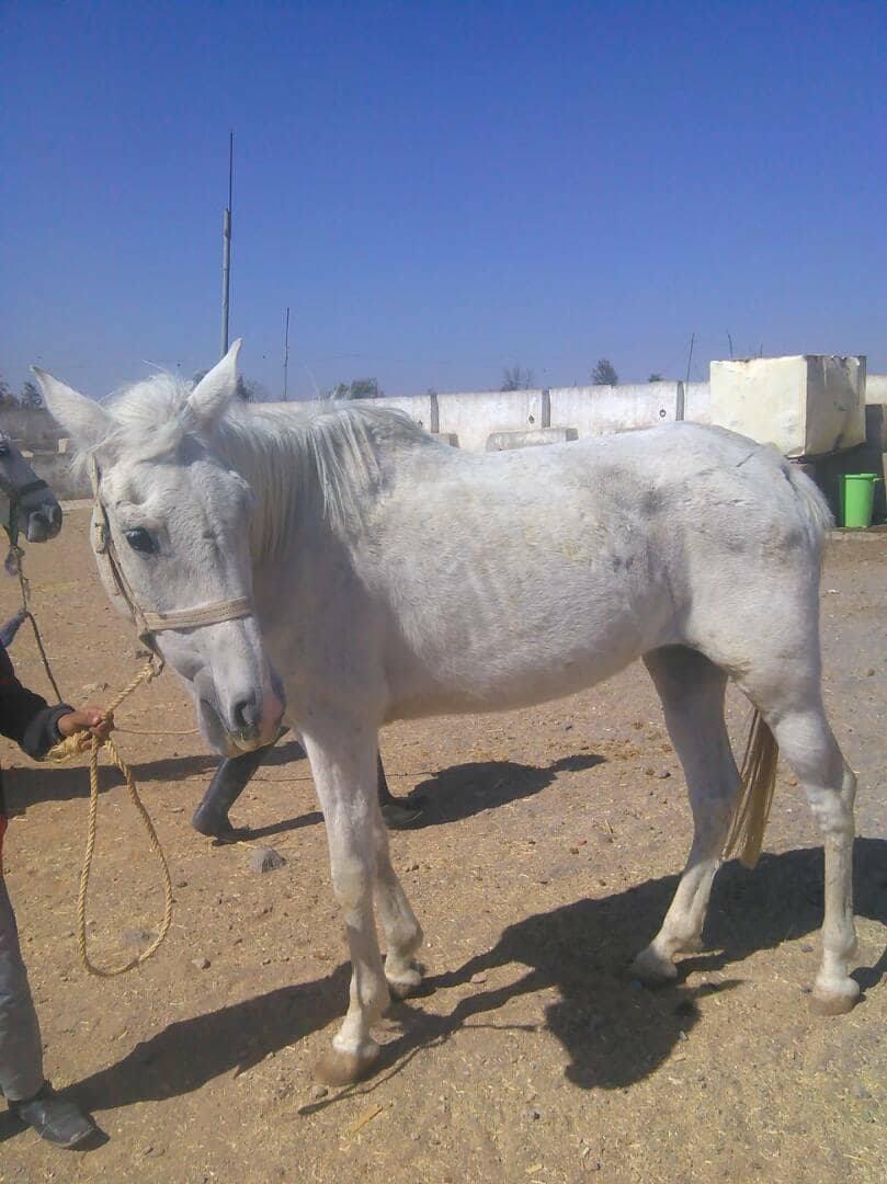 Dhamar 4 dec 2017 farm Arabians OWAPAR Rescue.jpg