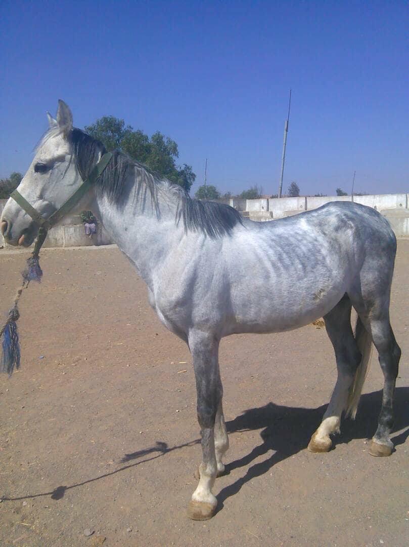dhamar horses needing aid emergency OWAP AR 4 dec 2017 .jpg