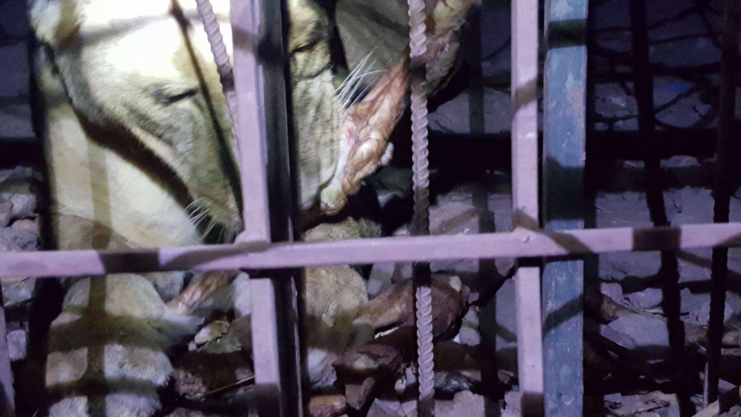 Ibb Zoo Yemen lions nighttime feed OWAP AR Salman feeding 20 Dec 2017 .jpg