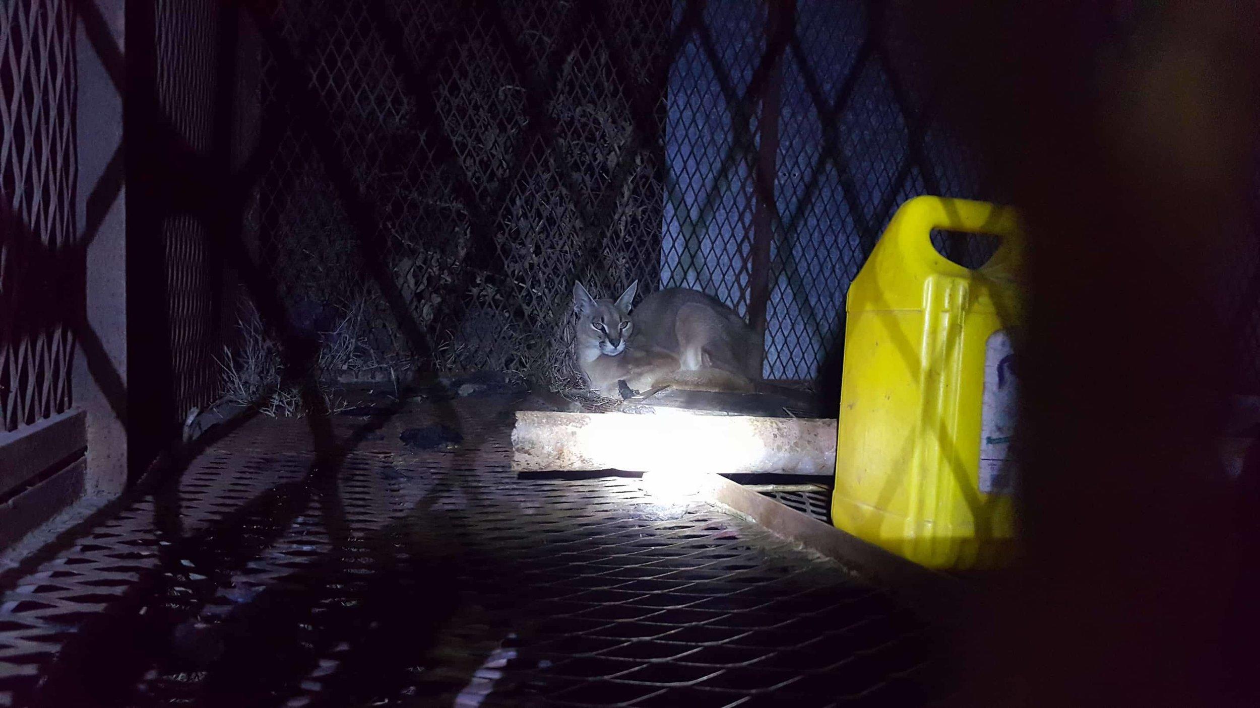 Ibb Zoo Yemen night feed Arabian Caracal OWAPAR 20 dec 2017 .jpg