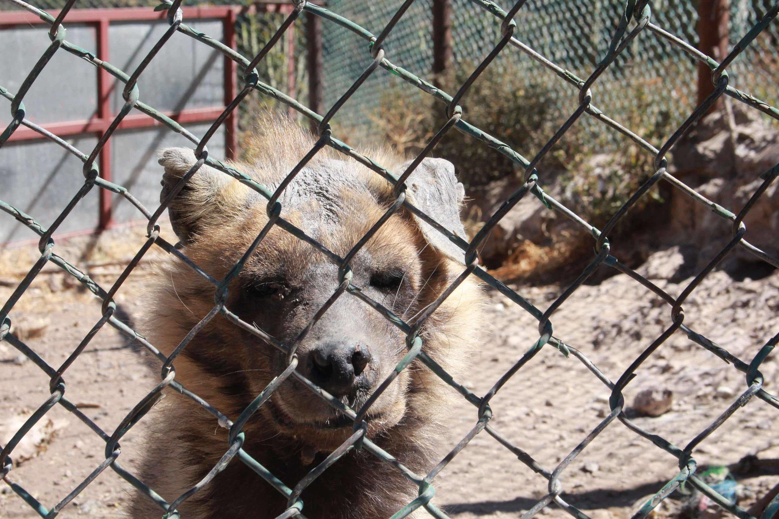 ibb zoo bella our bullied little striped hyena yemen 20 DEC 2017 pics by salman.jpg