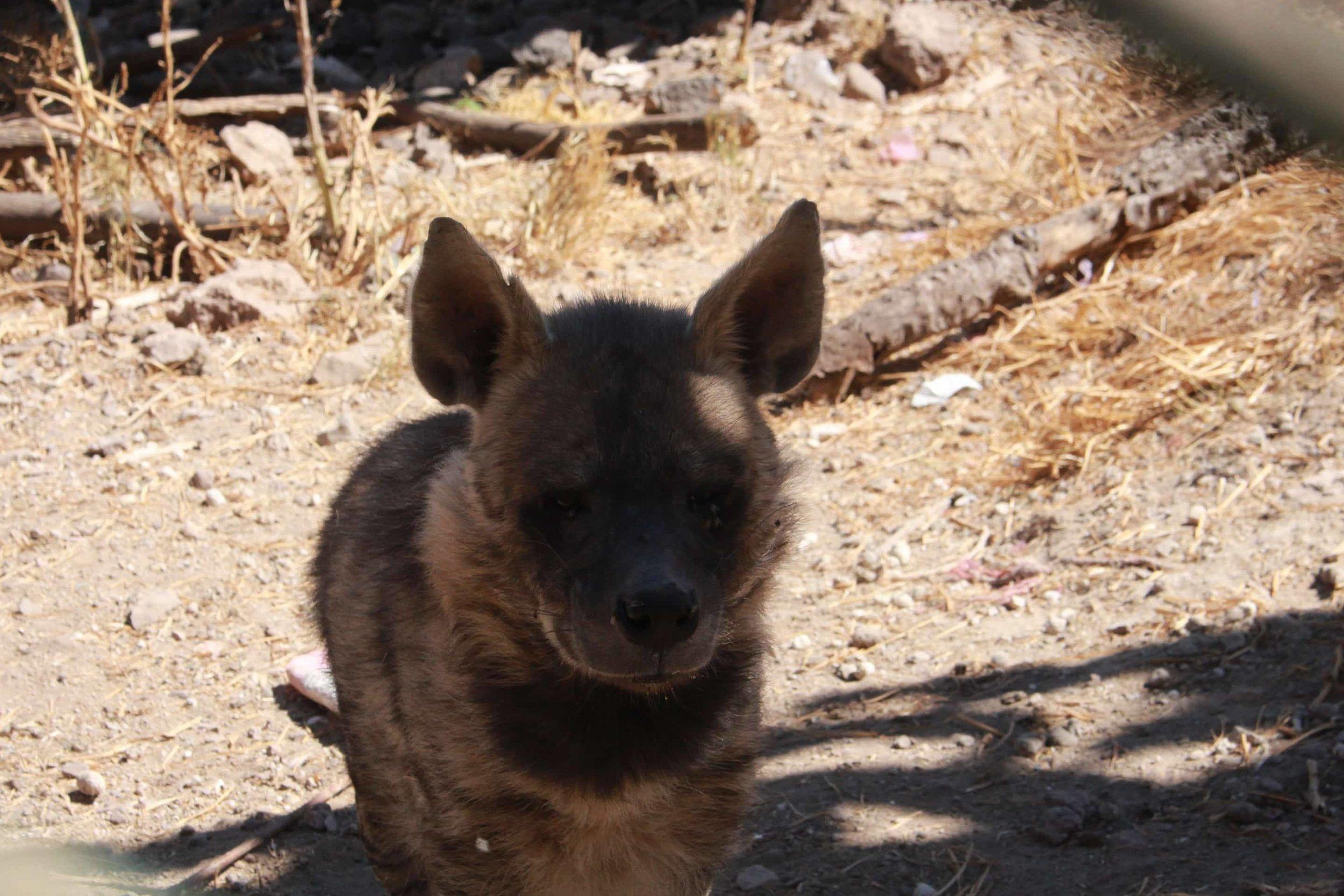 ibb zoo yemen 20 DEC 2017 the bullier striped hyena OWAP AR rescue .jpg