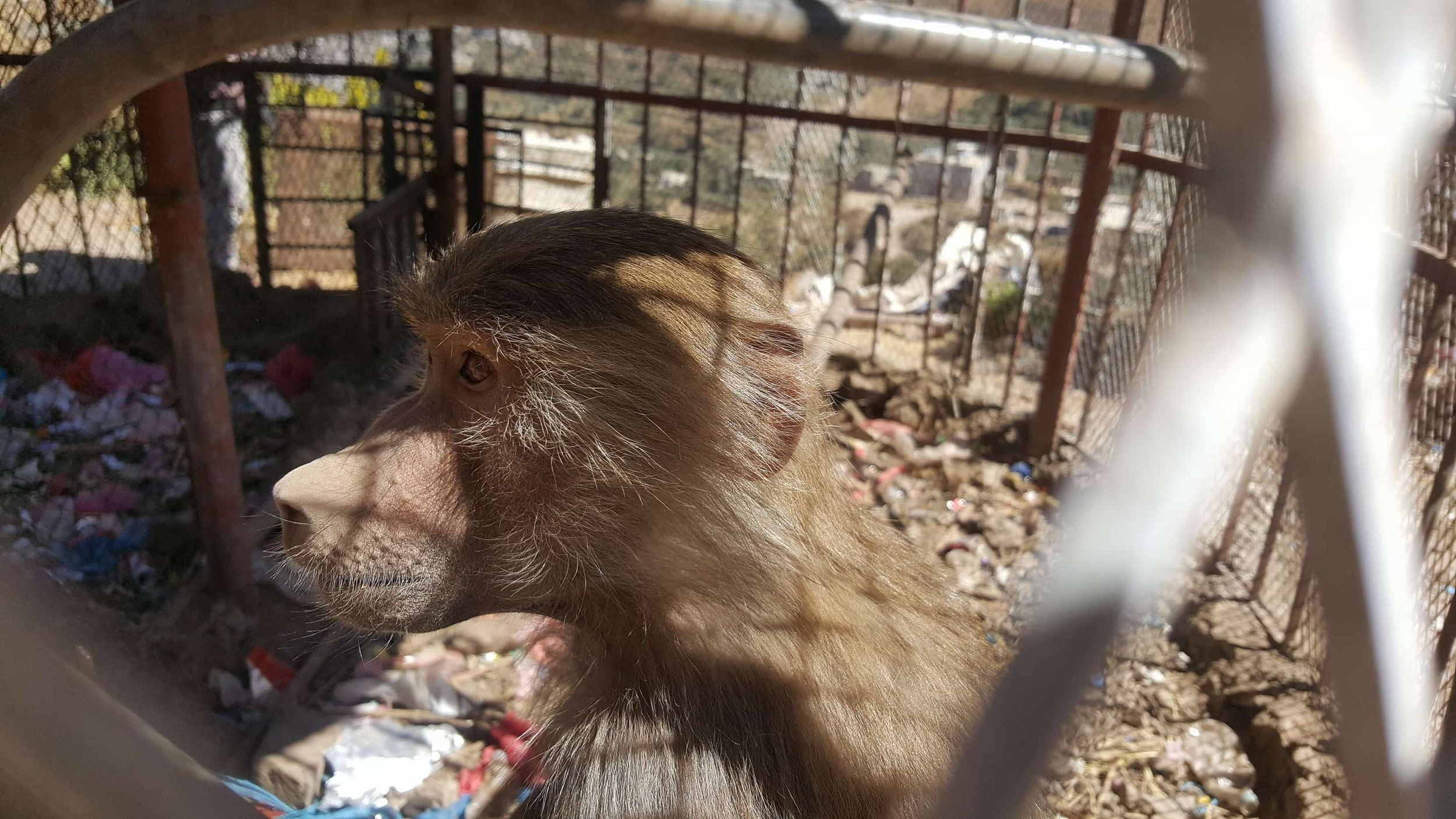 ibb zoo baboon 20 DEC 2017 salman al hadi pic OWAP AR.jpg