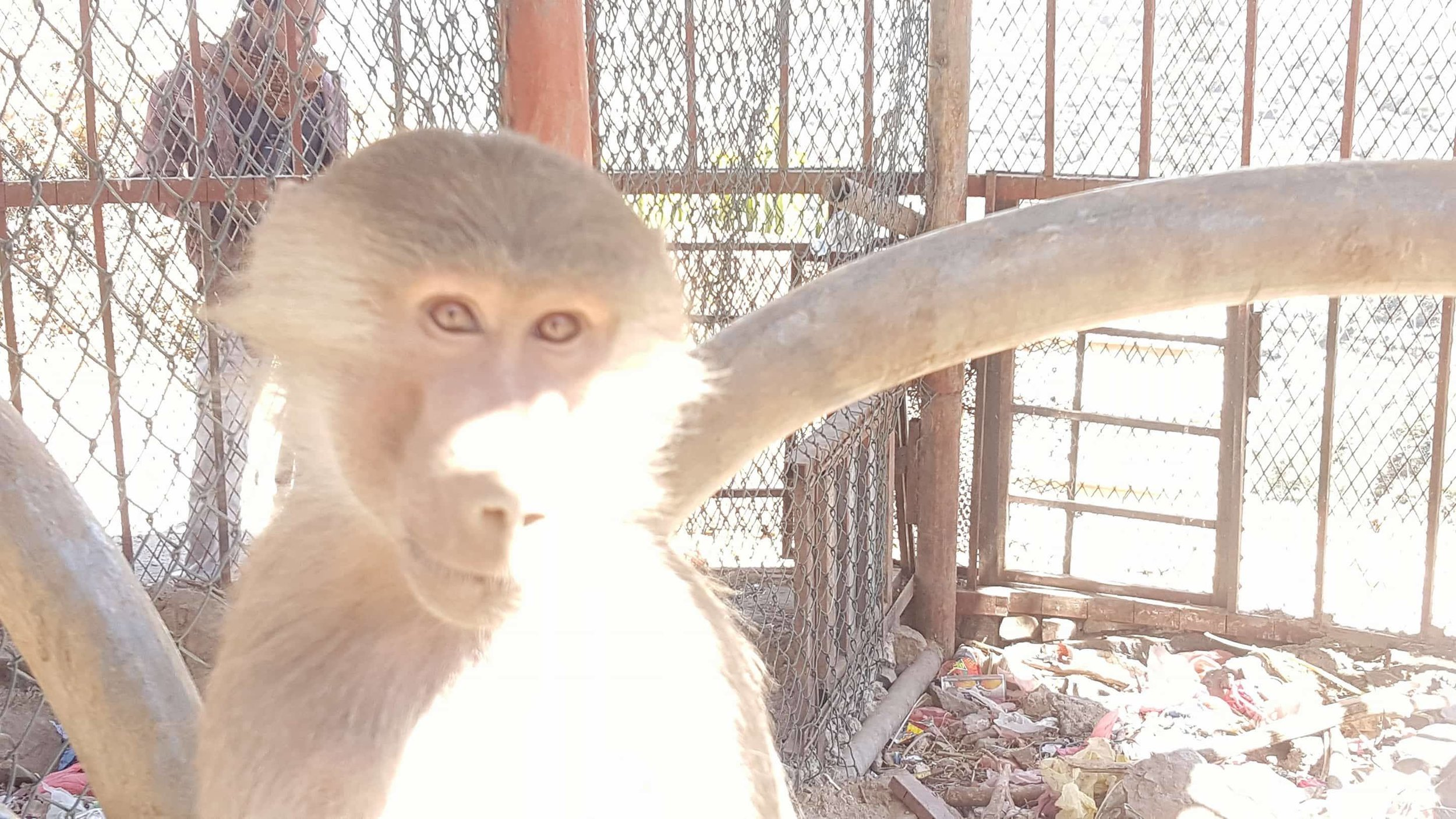ibb zoo baboon hungry 20 DEC 2017 Yemen OWAP AR salman 's pics.jpg