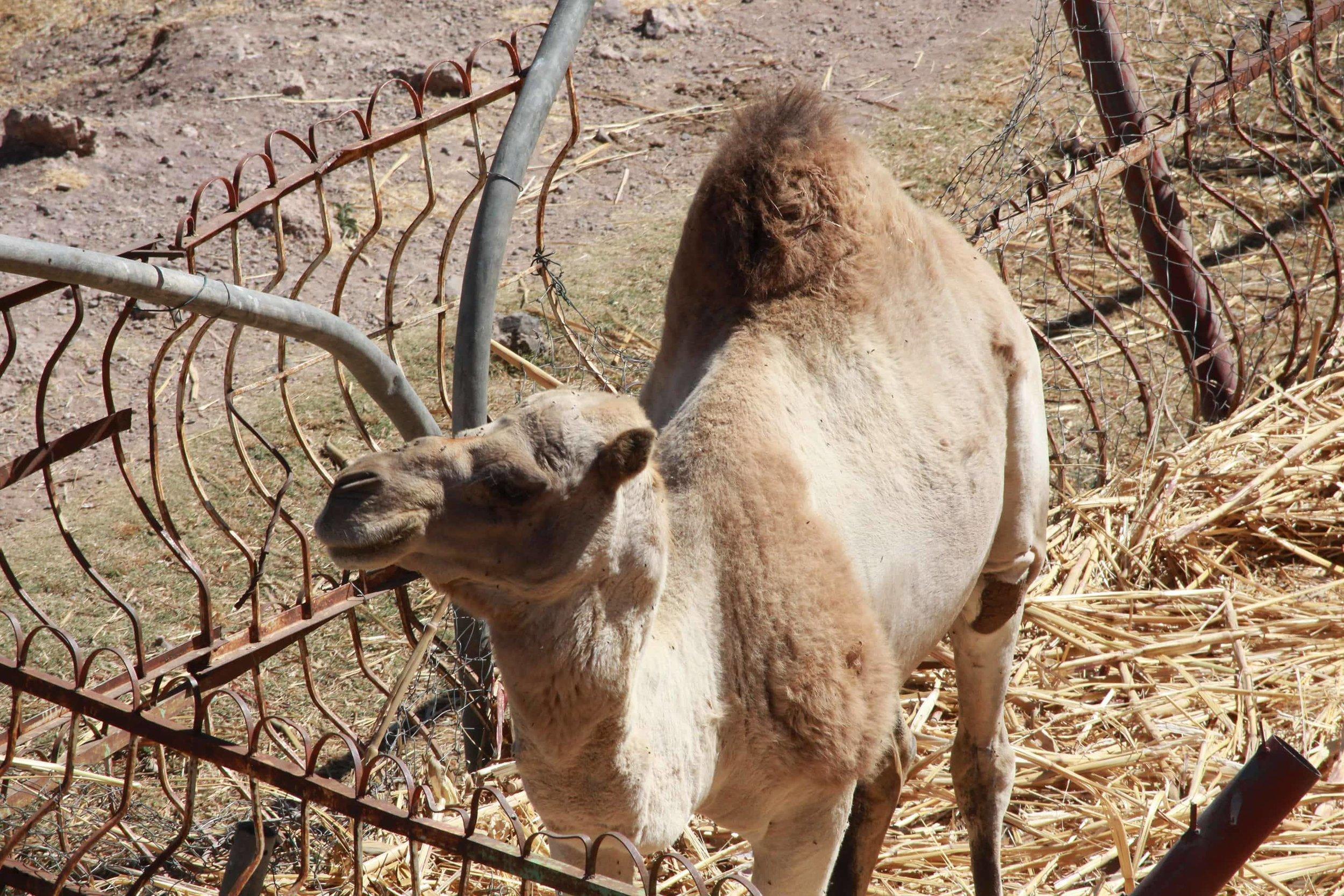 ibb zoo camel Yemen OWAP AR salman pic today 20 dec 2017.jpg