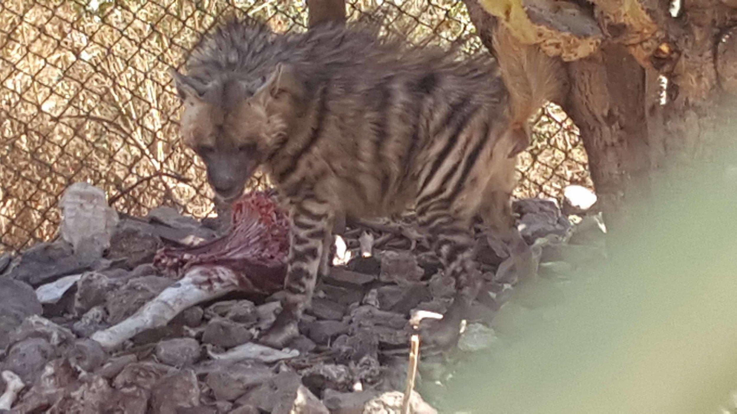 IBB ZOO hyena so hungry OWAPAR Yemen Salman pic 5 jan 201826654734_301234757064171_1594547284_o.jpg