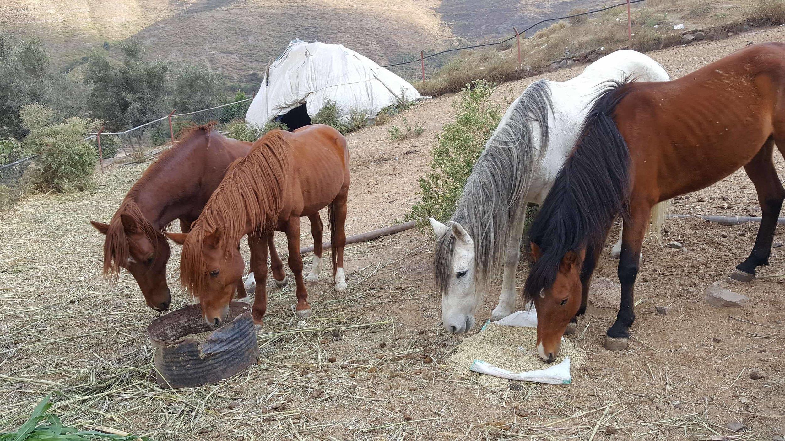 Ibb Zoo horses food at last OWAR AR supporting Salman coordinating 29 DEC 2017 .jpg