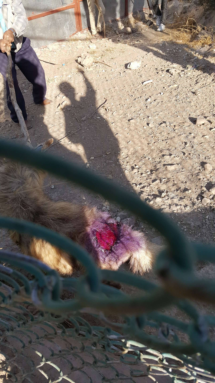 Ibb Zoo hyena 30 dec 2017 Salman pic treating with spray OWAP AR yemen.jpg