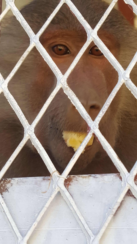 ibb zoo baboon with banana from owap ar donors salman pic 29  dec 2017 25637243_295393407648306_417503883_o.jpg