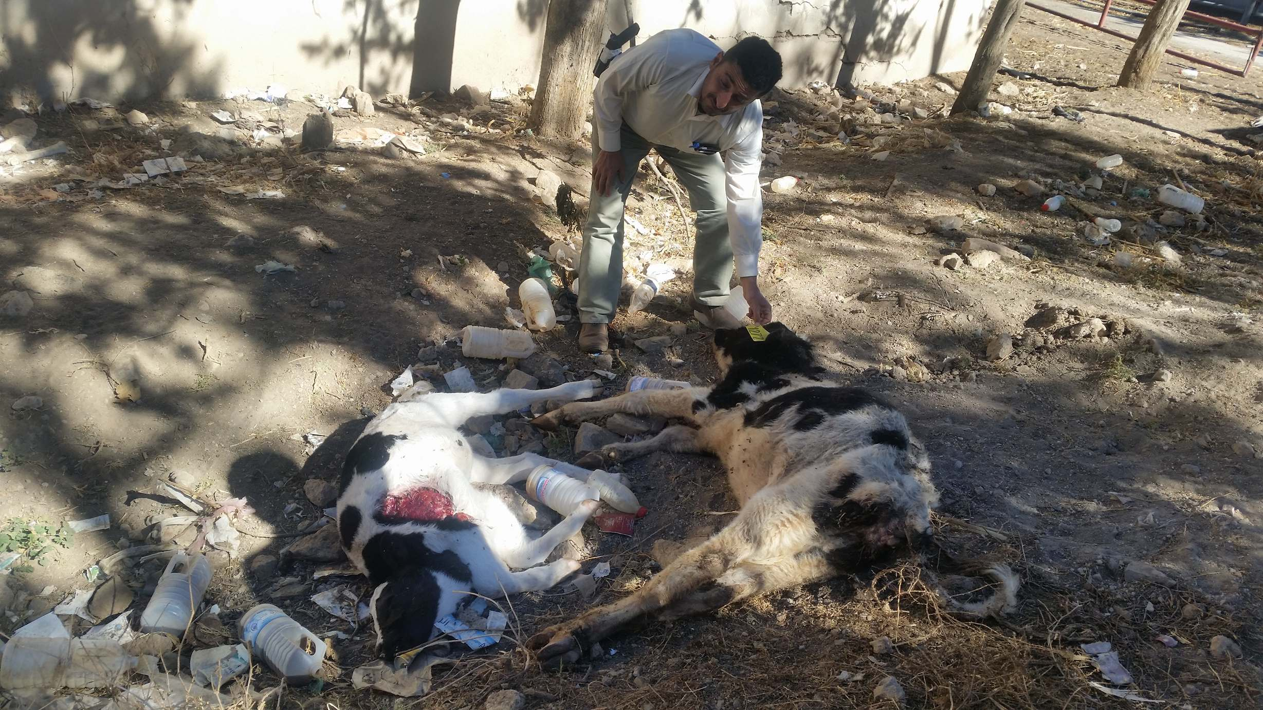 dhamar cows and calves dying of starvation OWAP AR to the rescue 13 Jan 2018 donation sent but we need more funds there are still 241 alive and suffering .jpg