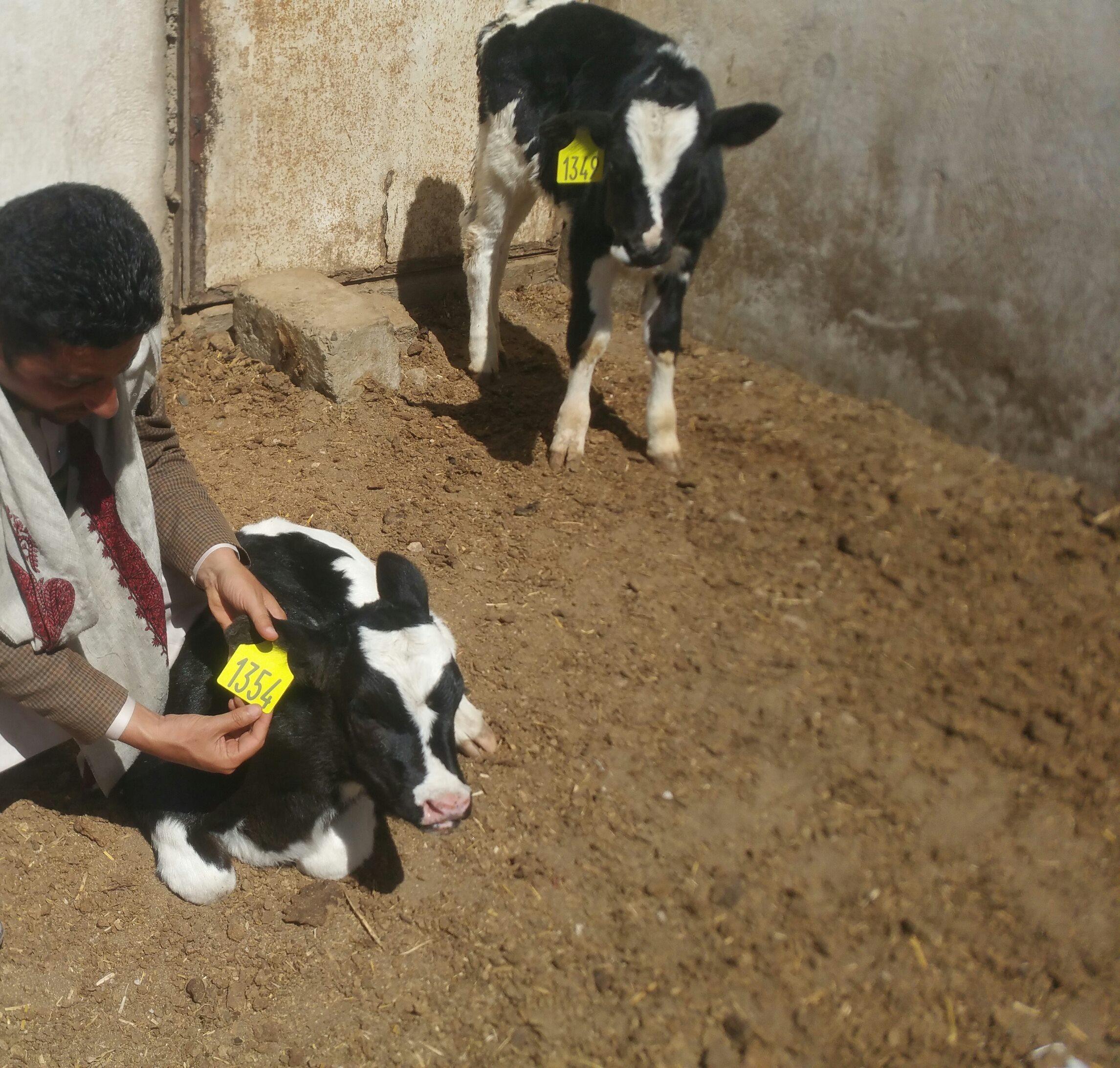 Dhamar farm rescue OWAP AR instructs Helall to release the calves 30 from concrete pens 19 jan 2018 Rosabah Farm27018671_1520763858042964_1772641965_o.jpg