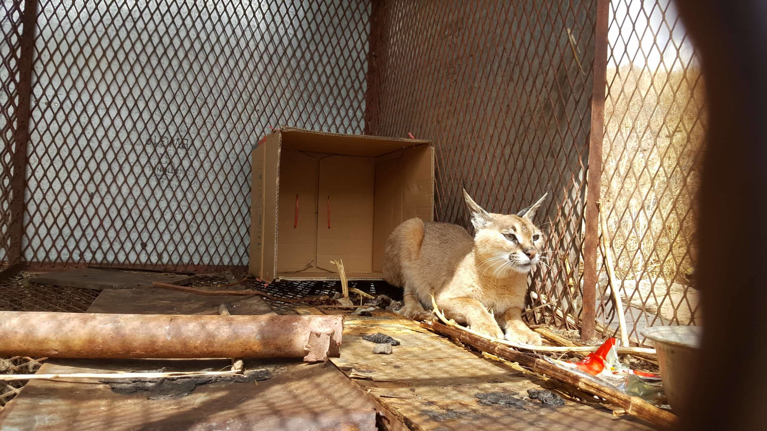 IBB ZOO RESCUE OWAP AR  provides box bed and food for arabian caracal 8 MARCH 2018 .jpg