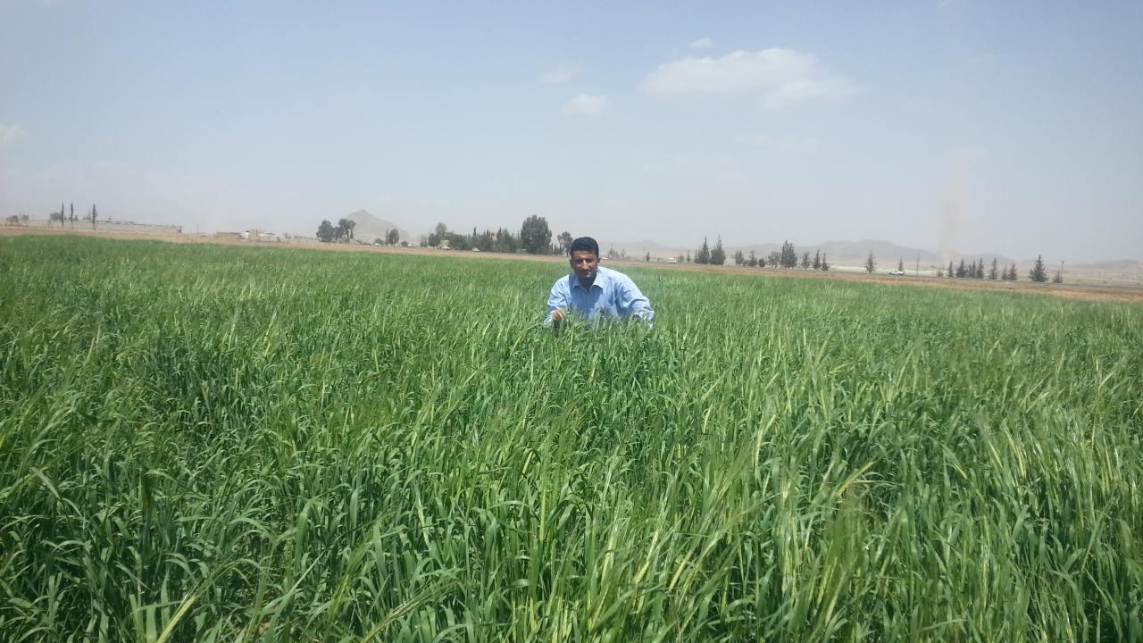 dhamar owap ar helall farm fodder for harvest and transfer to rosabah farm 28 FEB 2018.jpg