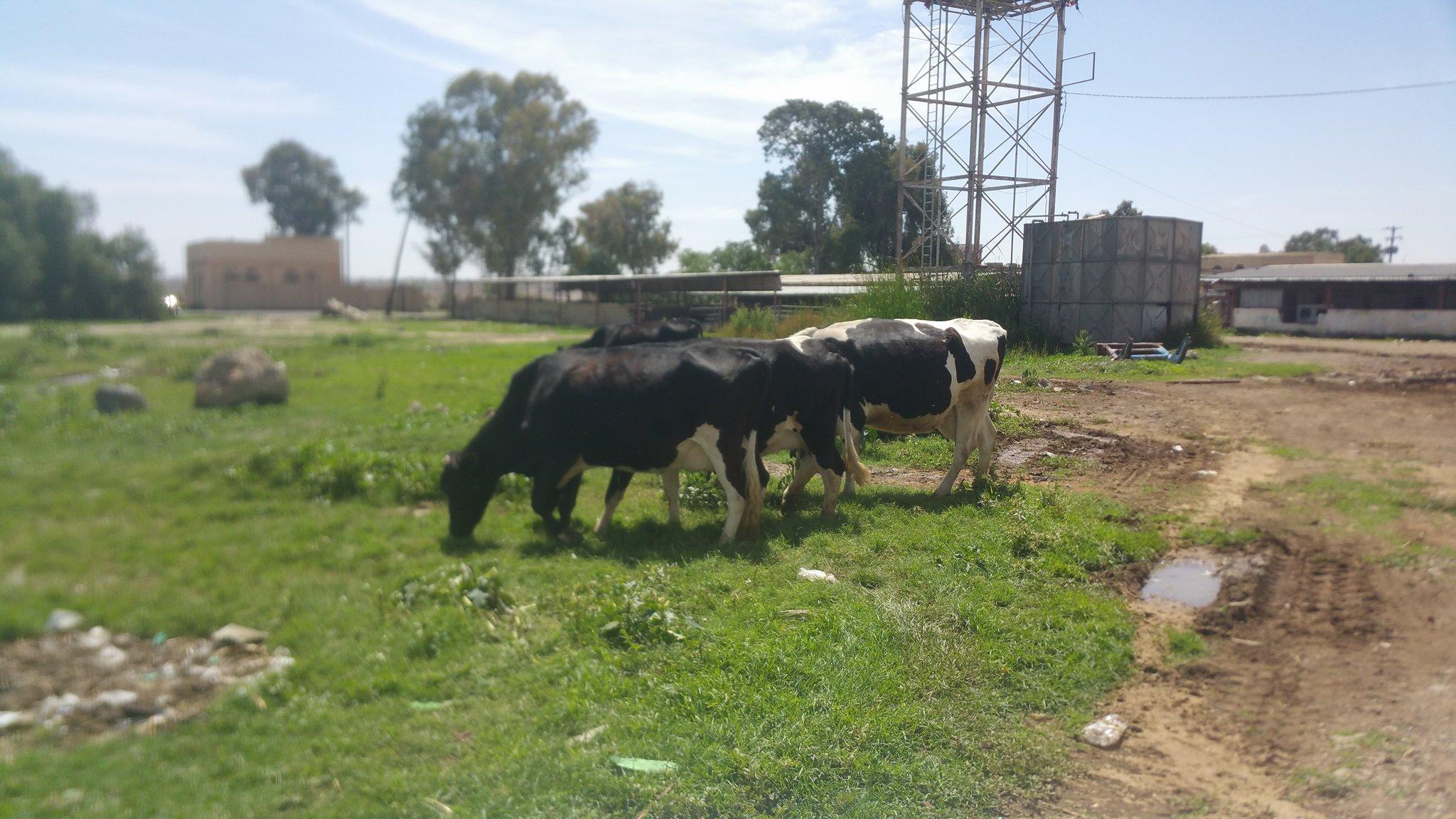 dhamar cows grazing outside farm 10 MAY 2018 OWAP AR Helall pic.jpg