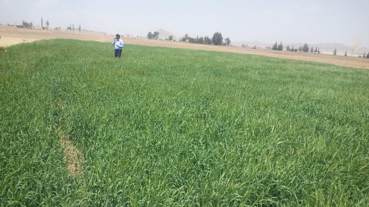DHAMAR BARLEY FIELD NEARER ROSABAH FARM AND CHEAPER THAN AT MARKET for OWAP AR 28 FEB 2018 .jpg