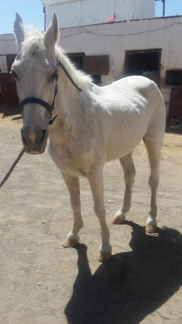 riding club sana'a yemen for OWAP AR 9 OCT 2018 by MUAAD HORSE NEEDING HELP.jpg