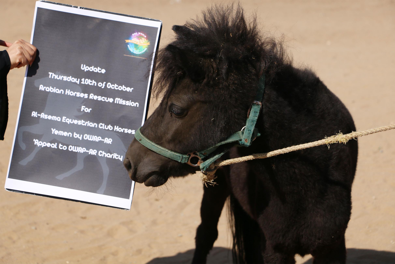 riding club pony appeal Yemen OWAP-AR by Nada.jpg