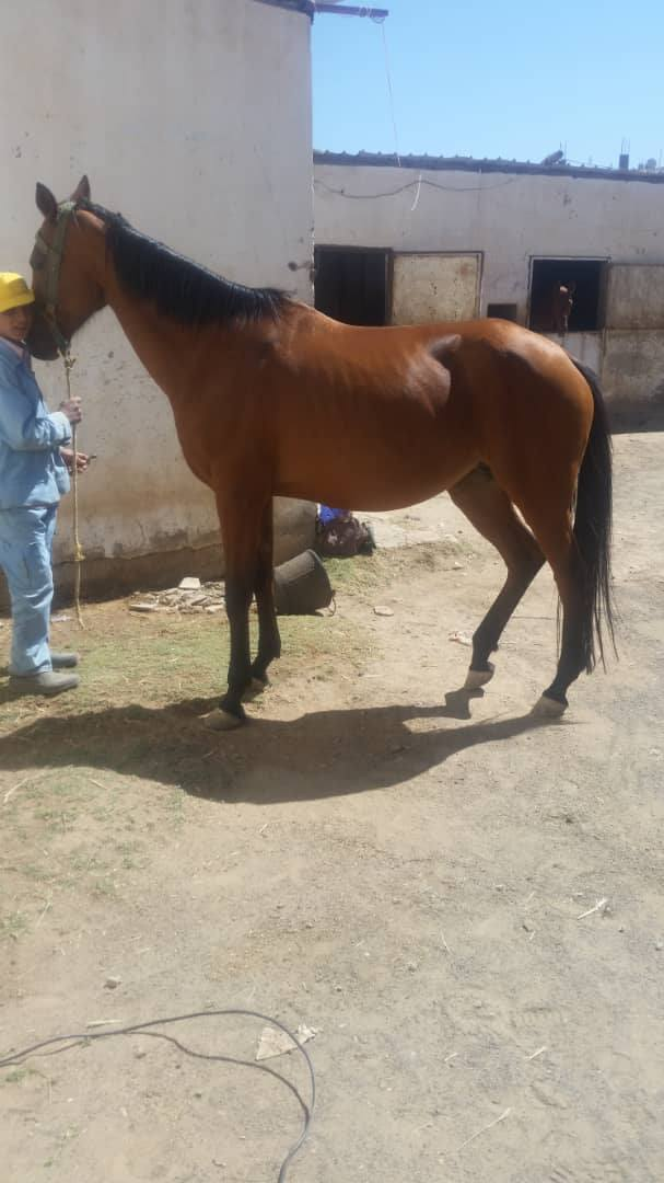 RIDING CLUB HORSE ARABIAN SANA4A YEMEN FOR OWAP AR RESCUE by Muaad Horse 3  9 OCT 2018.jpg