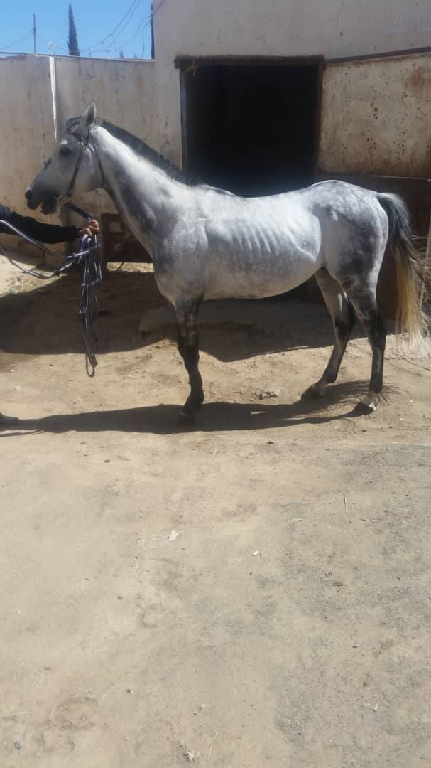RIDING CLUB HORSE 6 NEEDING FOOD 9 OCT 2018 FOR OWAP AR by Muaad.jpg