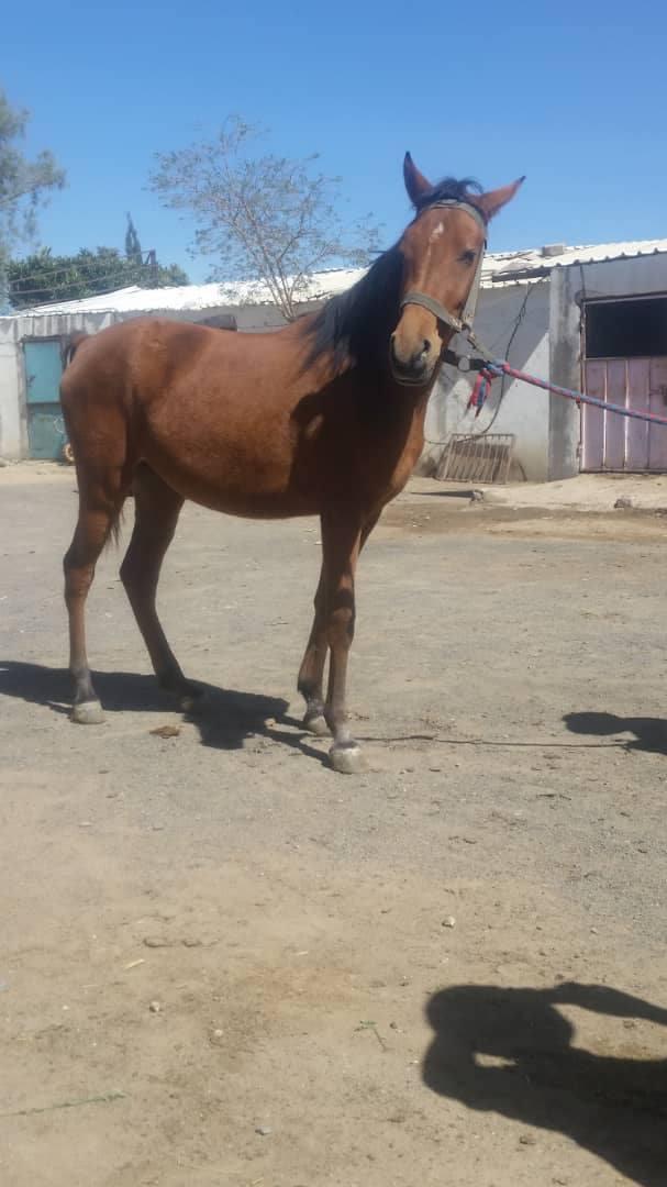 riding cub 9 OCT 2018 FOR OWAP AR SANA HORSE 4.jpg