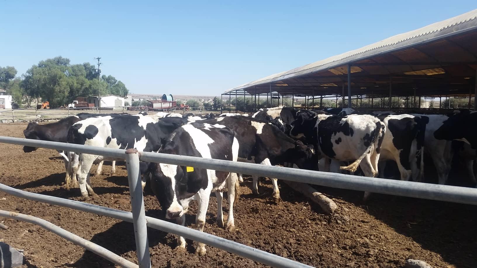dhamar rosabah farm cows 3 Nov 2018 for OWAP AR Hisham pic.jpg