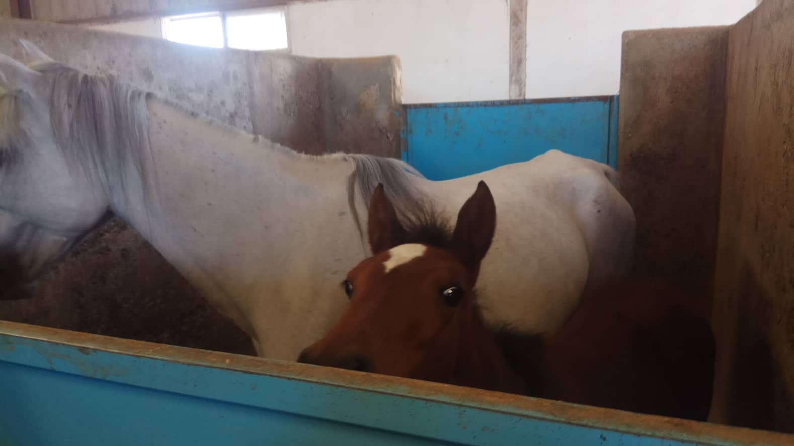 military ac OWAP AR 14 SEPT 2018 KHALID ALWAQA my yemen rescue police horse Mum and foal.jpg
