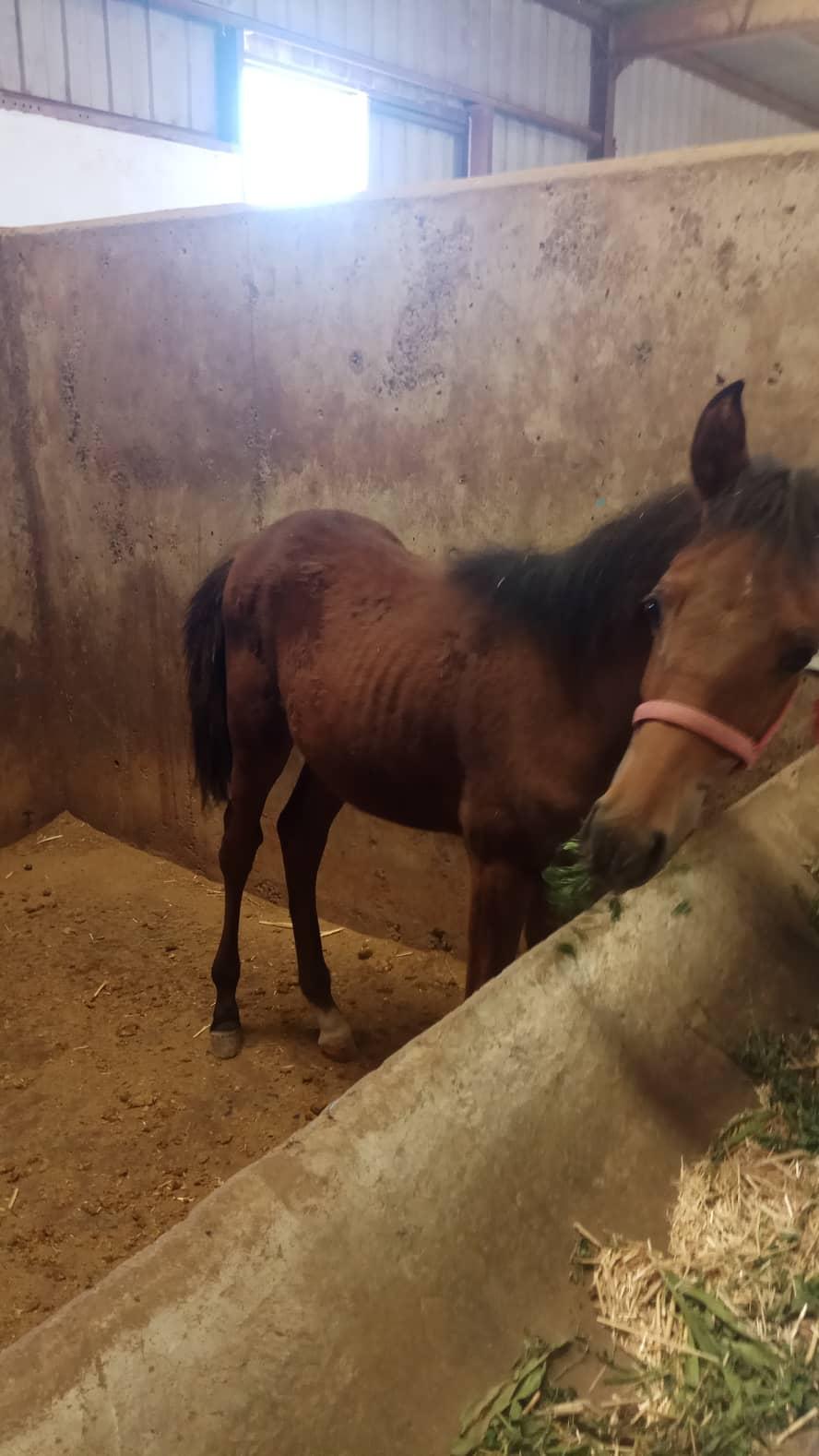 military ac OWAP AR 14 SEPT 2018 KHALID ALWAQA my yemen rescue police horse foal growing up.jpg