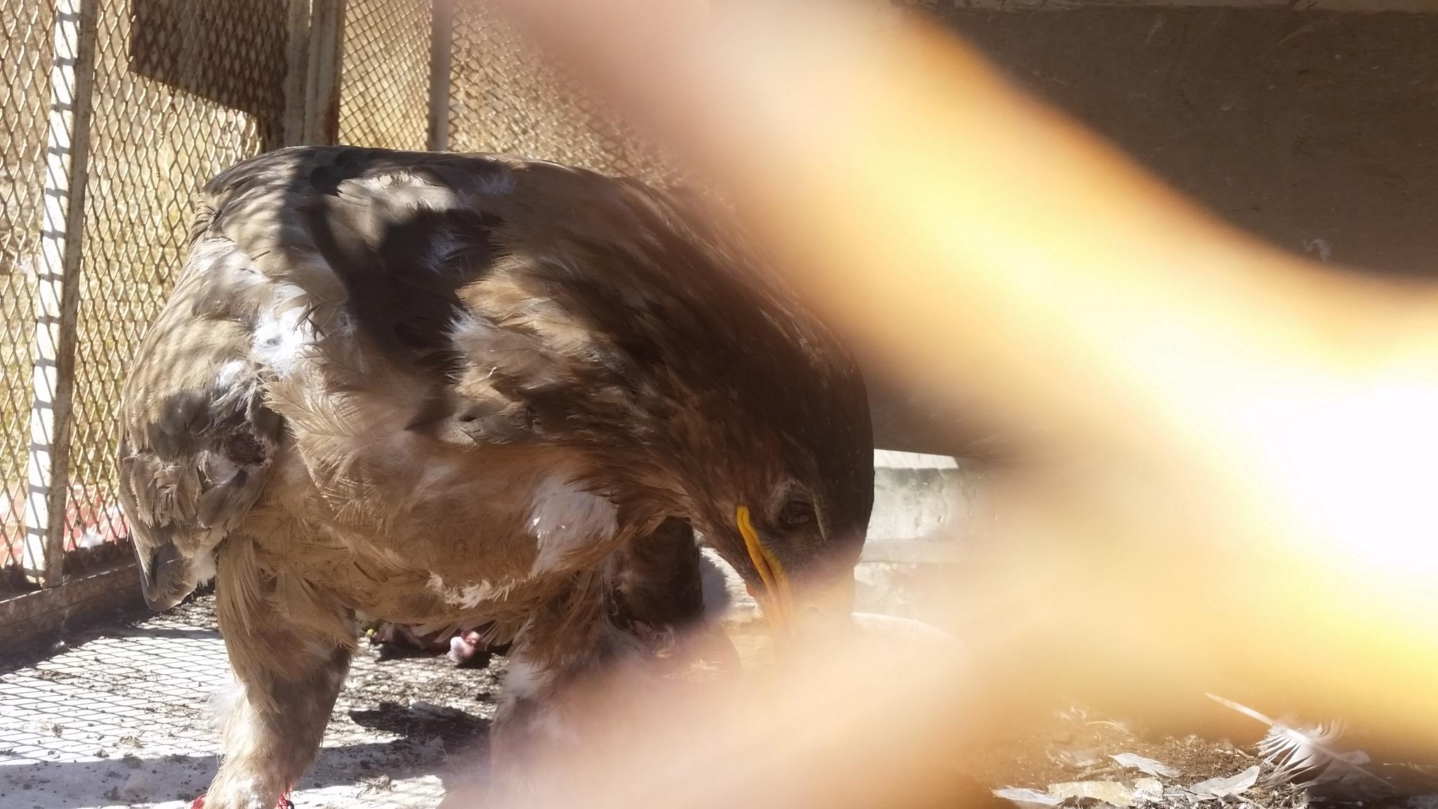 ibb zoo eagle eating 18 NOV 2018 by hisham for OWAP-AR food provider.jpg