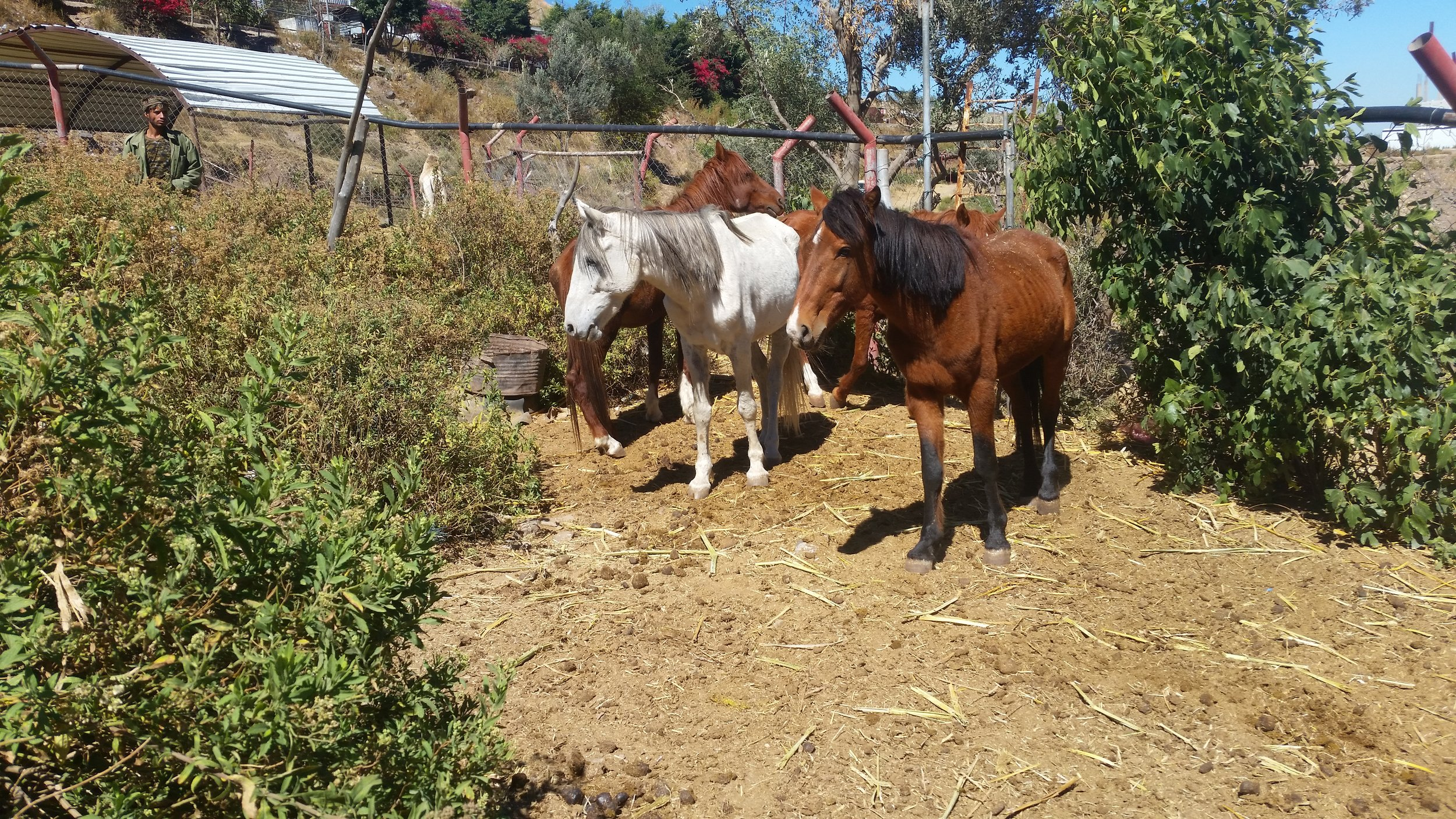 ibb horses 14 NOV 2018 with abdulrazak in background OWAP-AR pic by Hisham.jpg