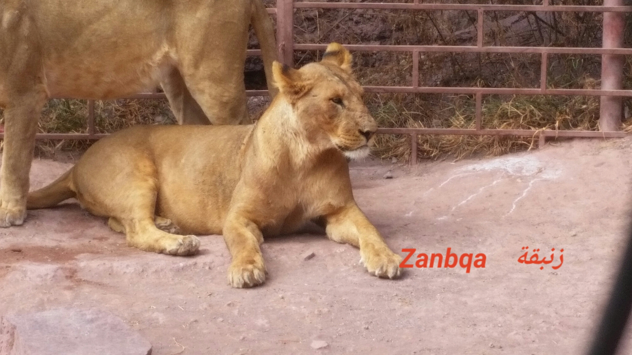 ibb zoo yemen OWAP AR rescue ZANBQA Lion name 7 NOVember 2018 fed and digesting Hisham pic.jpg