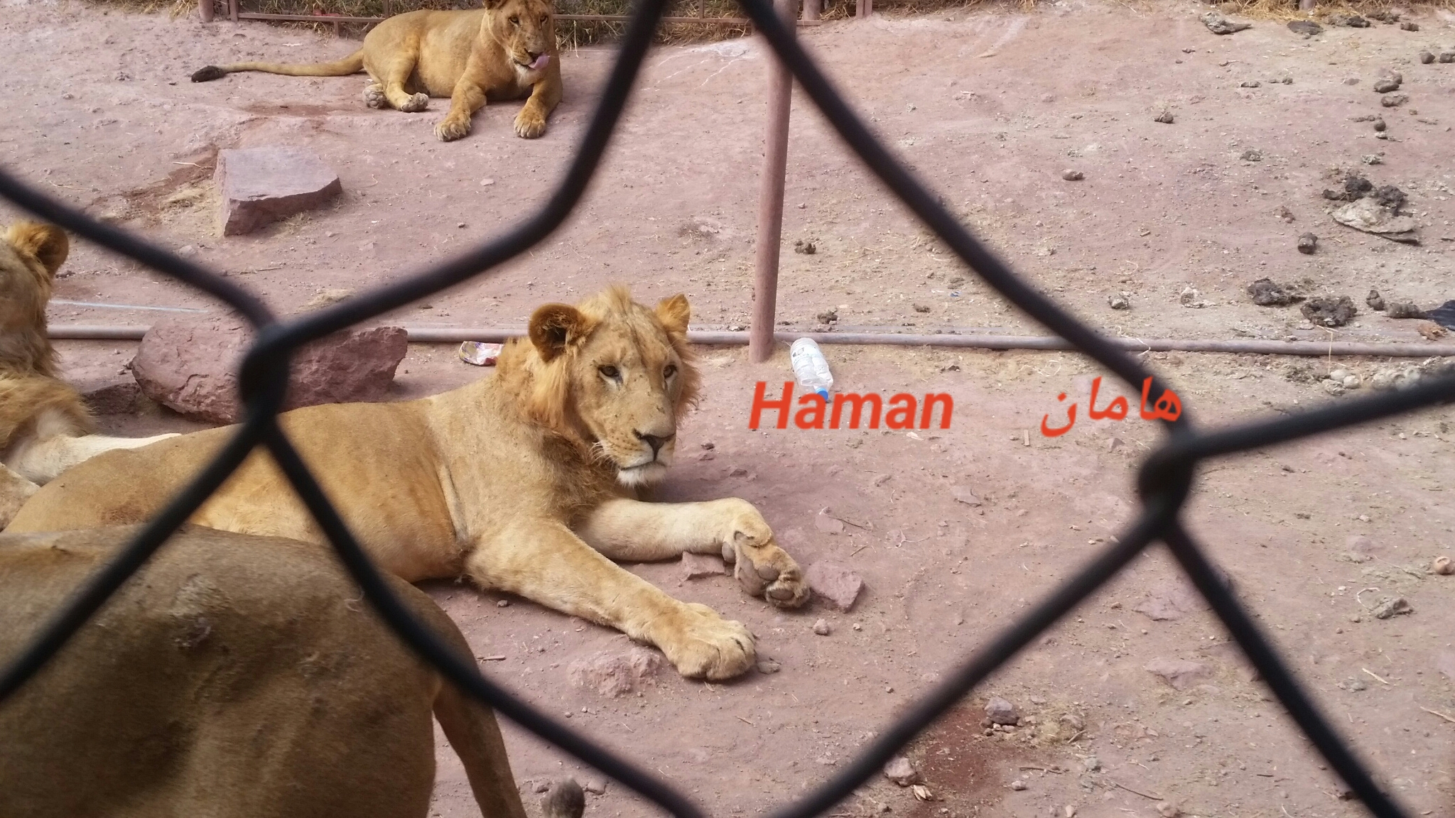 Ibb Zoo HAMAN lion 7 NOV 2018 hisham pic after feeding today supplier OWAP-AR N-P. yemen zoo rescue.jpg
