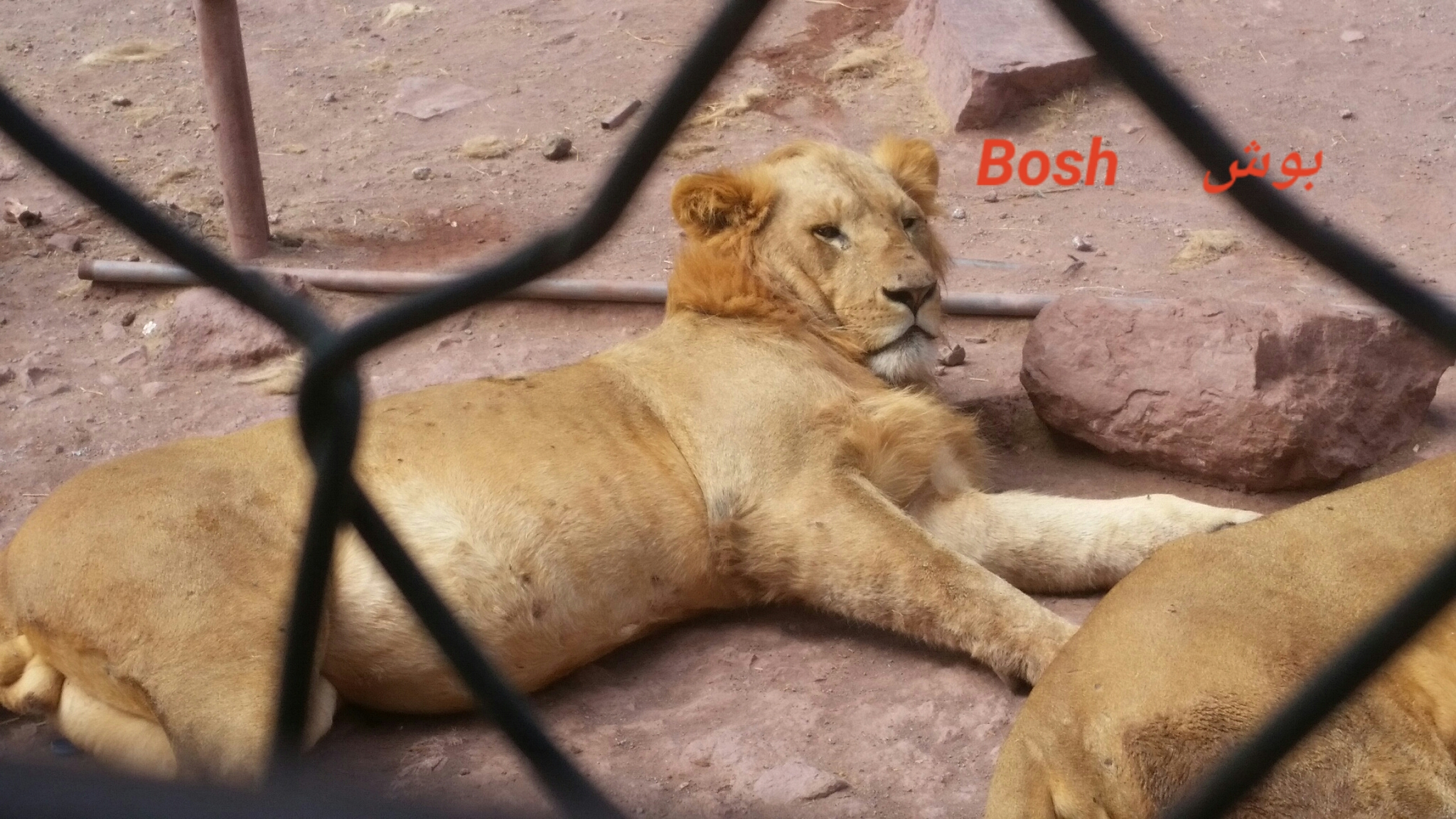 IBB ZOO BOSH lion full after his feed today 7 NOV 2018 by OWAP R provider Hisham pic yemen rescue.jpg