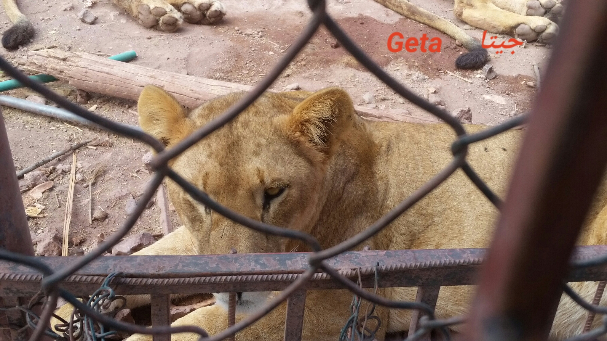 Ibb Zoo GETA lion  name 7 NOV 2018 by OWAP AR Hisham photo yemen.jpg