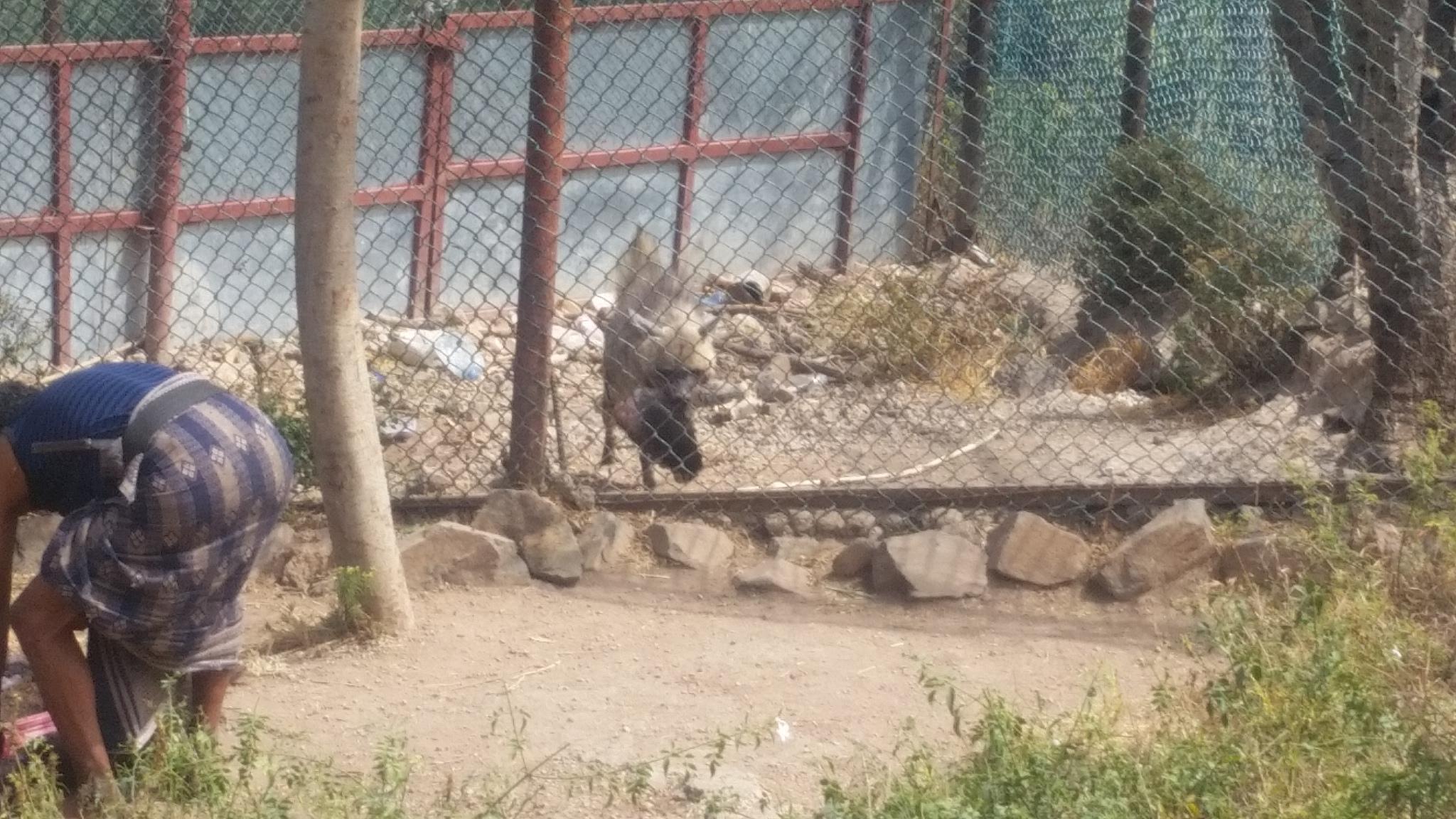 IBB ZOO hyena gets food too 7 nov 2018 butcher being paid 5000Rials by OWAPAR yemen rescue.jpg