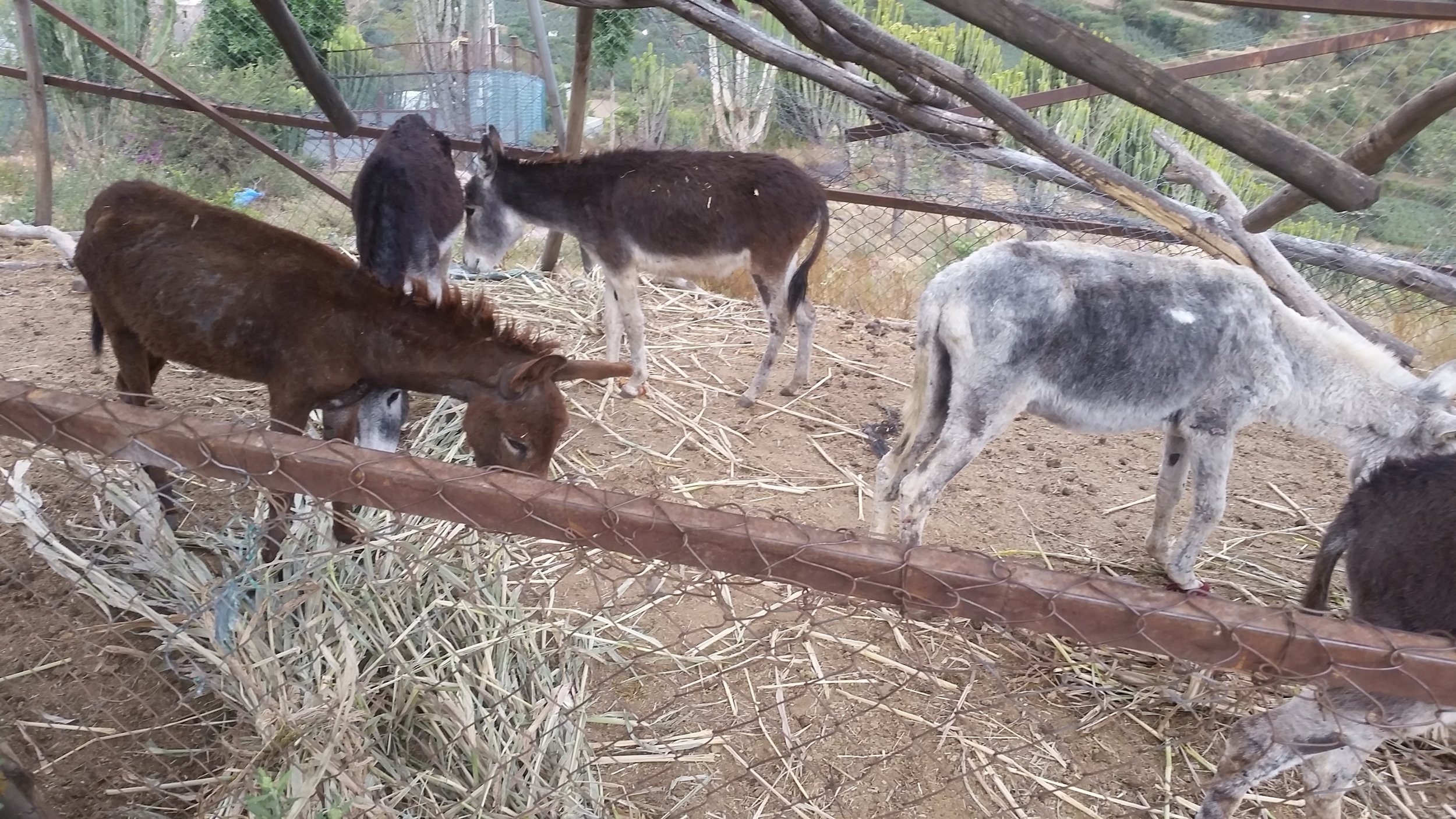 ibb zoo 6 NOV 2018 delivery donkeys by AL KASUMI coordinator Hisham for OWAP AR.jpg