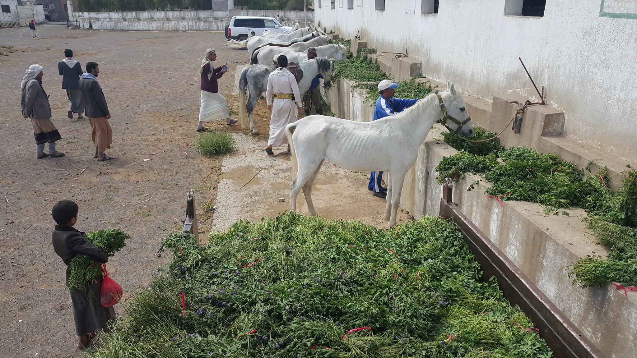dhamar q'rab horses bringing them out to eat 16 NOV 2018  OWAP-AR.jpg