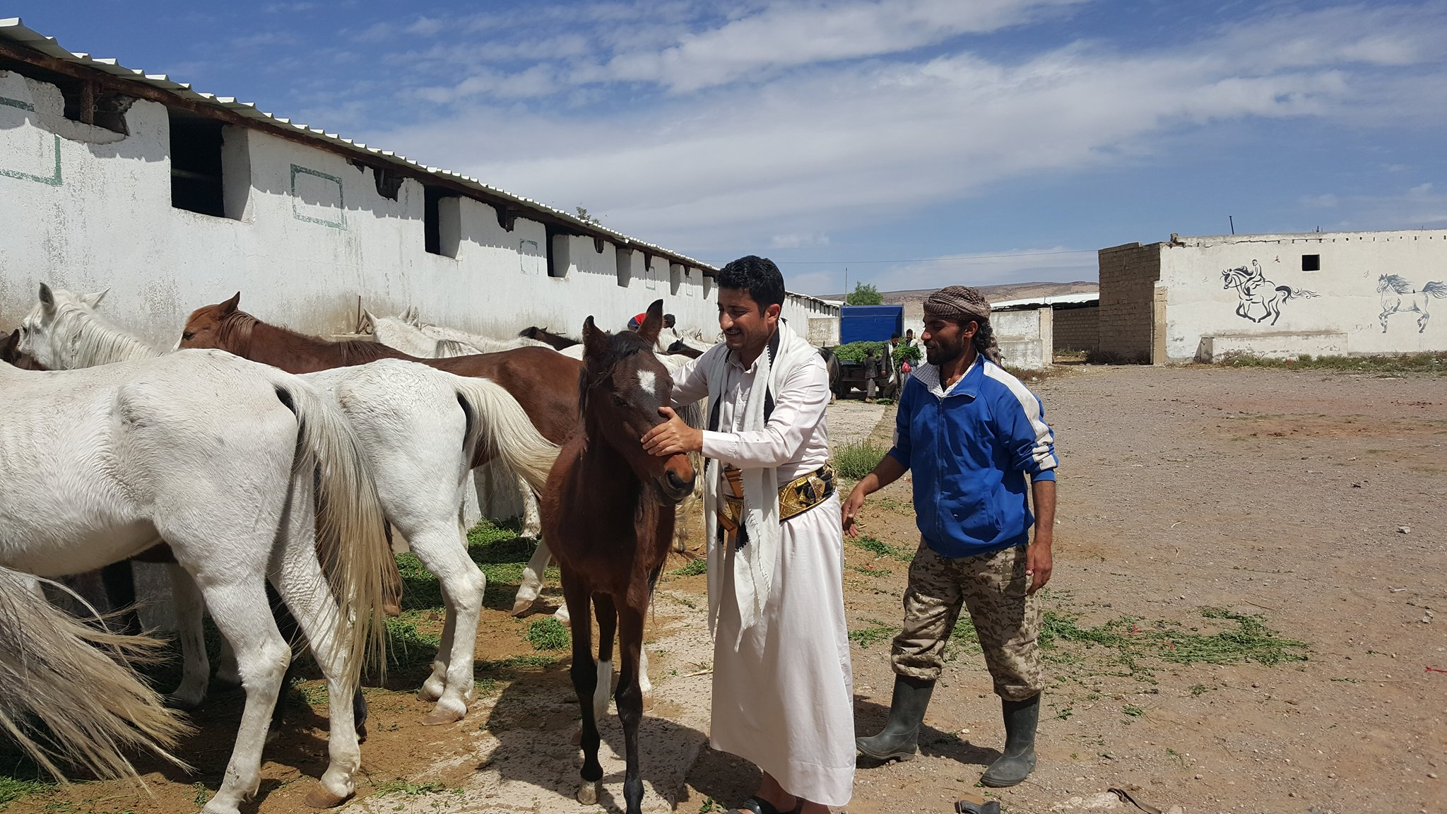 Dhamar 16 nov 2018 Q'rab horses OWAP-AR today's delivery of green clover by Helall seen here with foal Hisham loves just in time...jpg