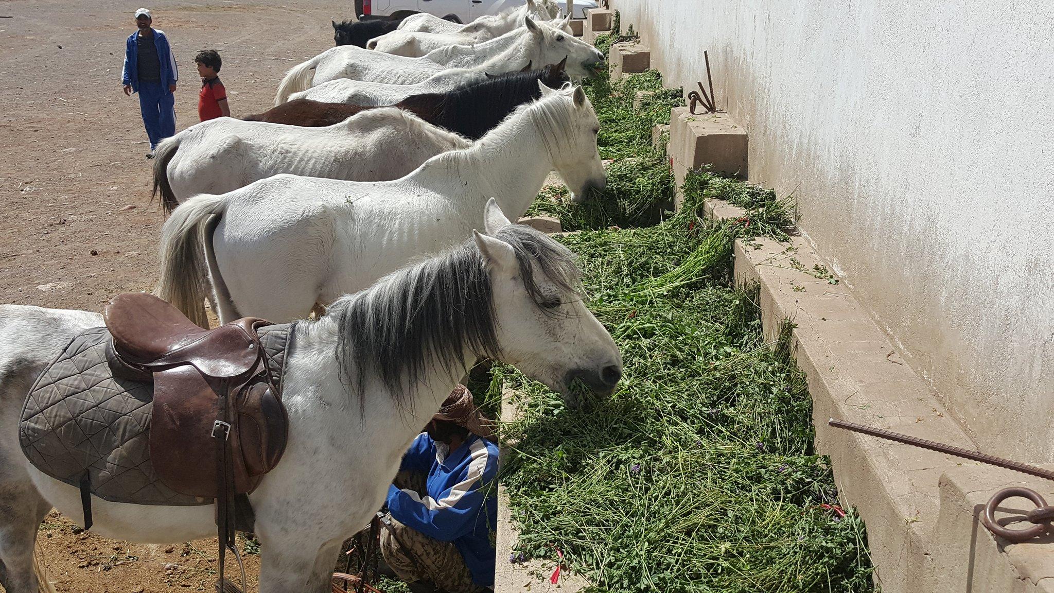 dhamar close up horses eating OWAP-AR food so skeletal 16 nov 2018 yemen rescue Helall coordinator.jpg