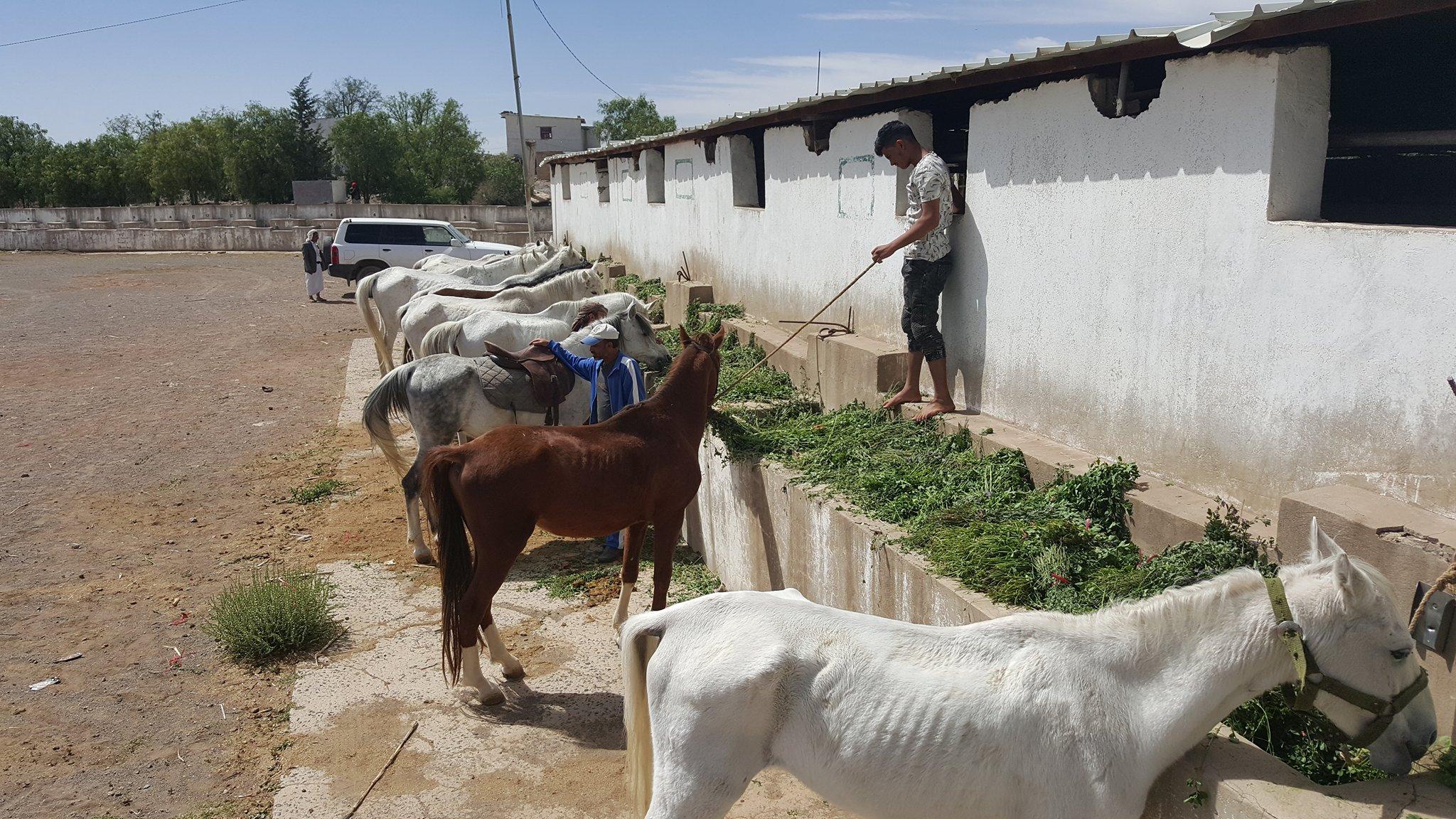 dhamar q'rab green food horse from OWAP AR  helall 16 NOV 2018 yemen stable  rescue.jpg