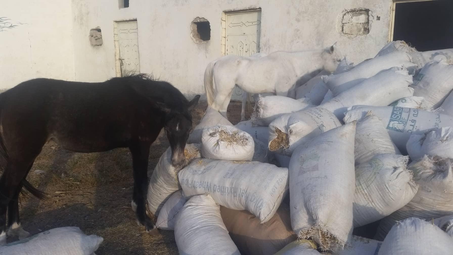 QRAB rescue dhamar 16 hungry horses DEC 2018 by OWAP-AR.jpg