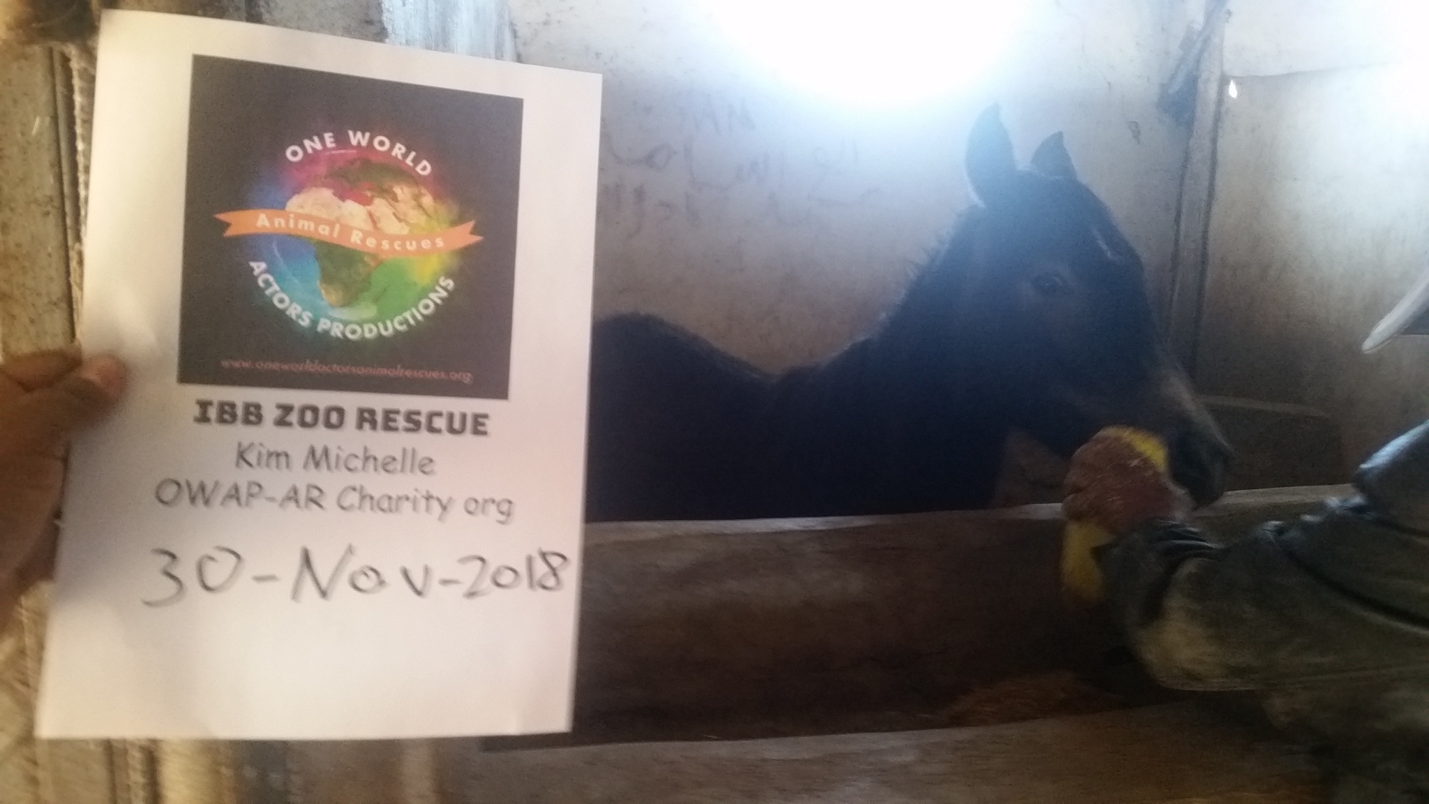qrab dhamar 30 Nov 2018 OWAP-AR horse being given our fodder  special feed delivery today.jpg