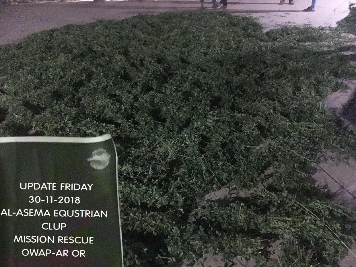 riding club sana'a persim green fodder nov 2018 by OWAP-AR providing delivery yemen horse rescue.jpg