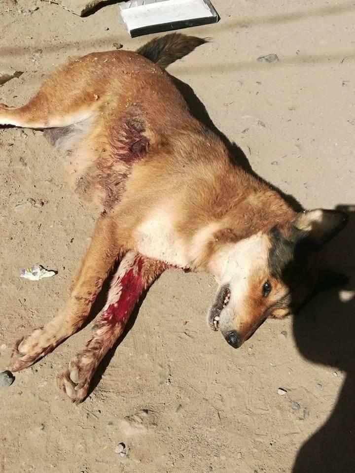 stray pups mum shot dead sana'a.jpg