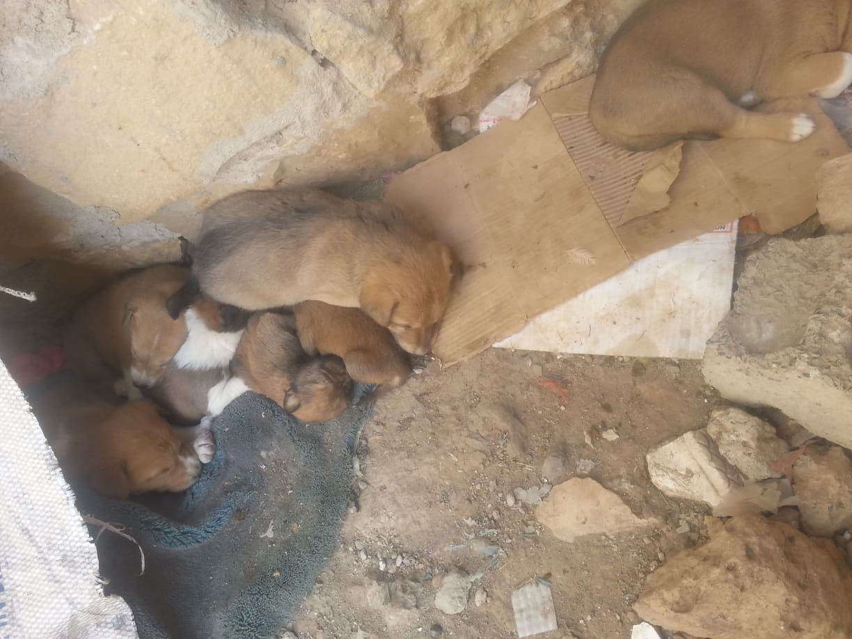 stray sana'a pups discovering new kennel by hisham 31 DEC 2018 OWAP AR yemen rescue mission from this to.....jpg