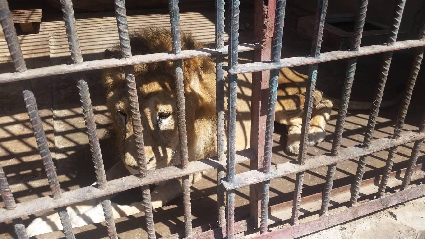 taiz 9 FEB 2019 OWAP-AR copywrite zoo yemen rescue.jpg