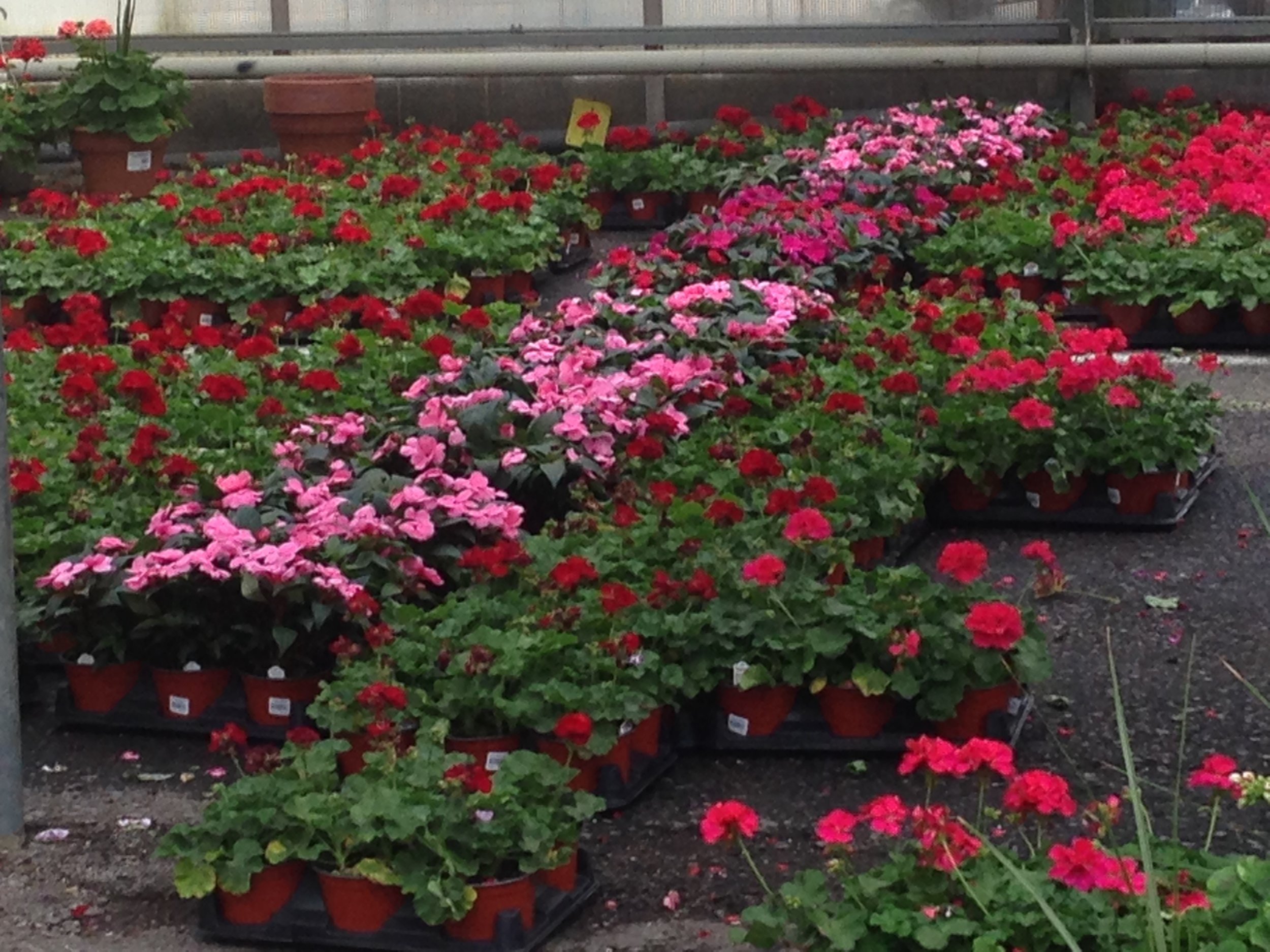 wholesale greenhouse with geraniums