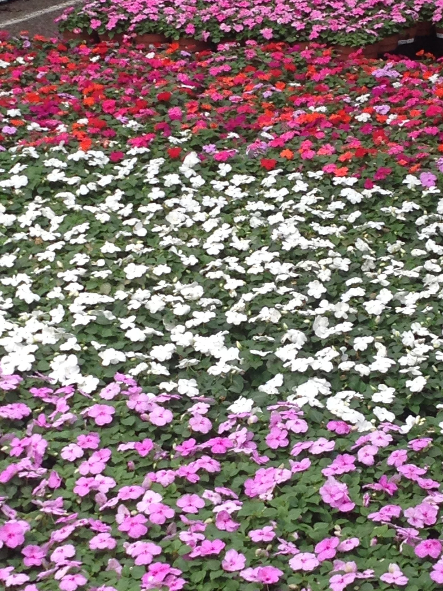 wholesale greenhouse with impatiens