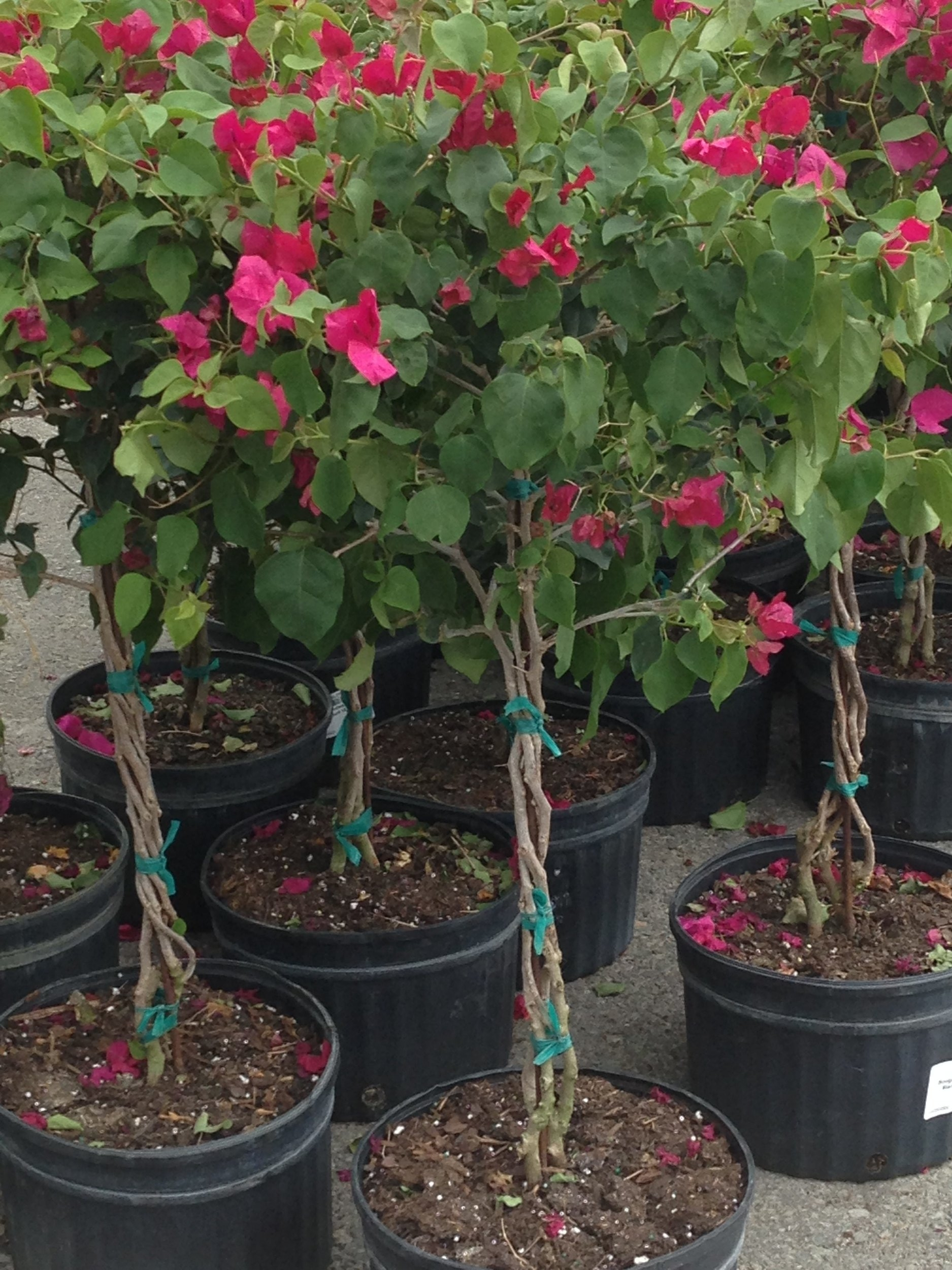 bougainvillea topiary trees