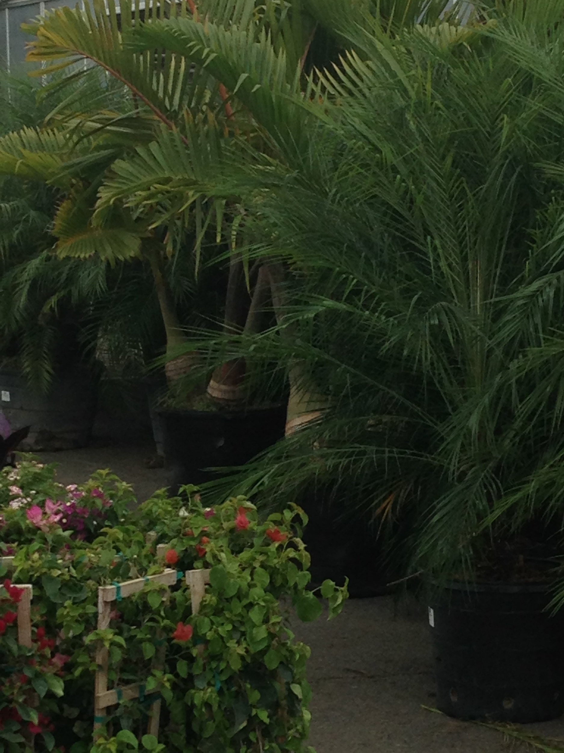 wholesale greenhouse with palm trees