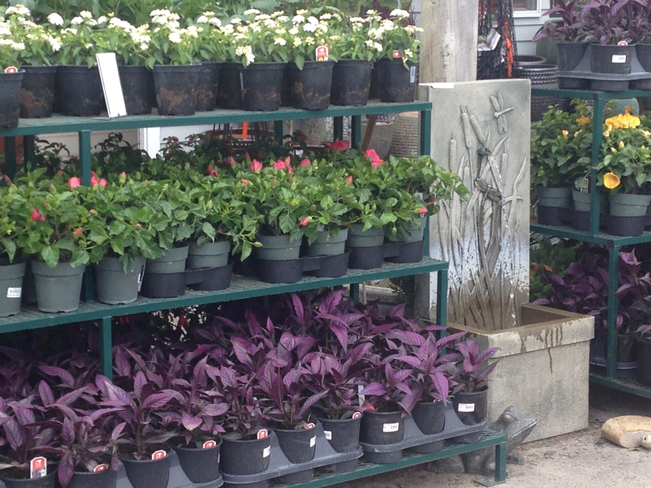persian shield plants have unusual color foliage